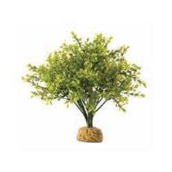 Arbusto Boxwood